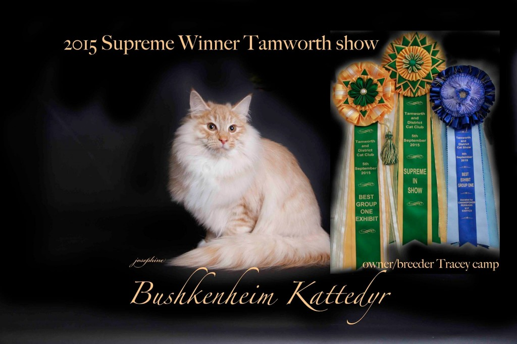 Tamworth – our kitten supreme and he is Best male Kitten Group 1 2015